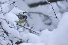 Blue tit on snow-covered branch. The Blue Tit, Cyanistes caeruleus, is a 10.5 to 12 cm (4.2 to 4.8 inches) long passerine bird in the tit family Paridae. It is Royalty Free Stock Photography