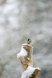Blue tit with snow falling. Blue tit on snow covered tree stump with snow falling in background royalty free stock image