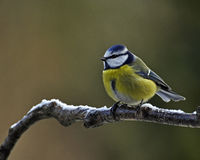 Blue Tit with snow. A Blue Tit (Parus caeruleus) perches on a snow covered branch in Sweden Stock Photos