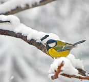 Blue Tit in the snow on a tree Stock Images