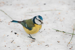 Blue Tit on Snowy Ground Royalty Free Stock Photos