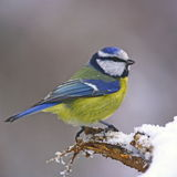 Blue tit on snowy trunk Royalty Free Stock Image