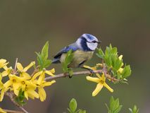Blue tit in spring Stock Image