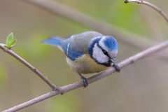 The blue tit on a spring branch Royalty Free Stock Image
