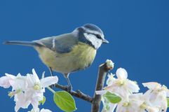 Blue tit in springtime Stock Photography