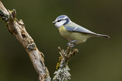 Blue tit standing on a small branch Stock Photos