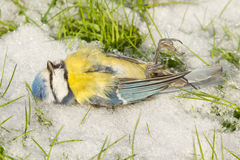 A blue tit starved to death. And lies on the cold snow Royalty Free Stock Photos