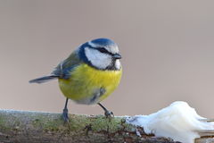 Blue tit and suet. Blue tit with importent part of winter food,with suet Royalty Free Stock Photos