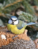 Blue tit with sunflower covered by white frost. Songbird blue tit during winter birdwatching Stock Photo