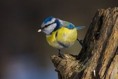 Blue tit with a sunflower seed. Closeup of Eurasean blue tit (Parus caeruleus) clutched on a dry tree stump with sunflower seed in a beak Royalty Free Stock Photos