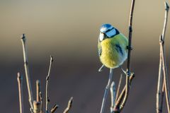 Blue tit in the sunshine. Blue tit  in the sunshine , Sweden Royalty Free Stock Photography