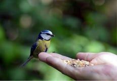 Blue tit - Cyanistes caeruleus Stock Photo