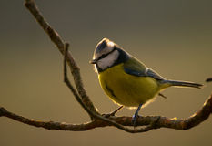 Blue Tit, tit, tits Cyanistes Stock Photos