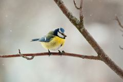 Blue Tit. The blue titmouse sits on a mountain ash branch Stock Photography