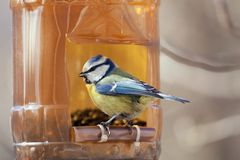 Blue Tit. The blue titmouse sits on a mountain ash branch Stock Images