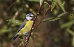 Blue tit on the Tree Stock Images