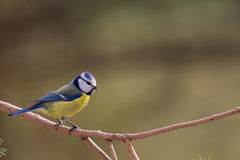 Blue Tit in a Tree Royalty Free Stock Images