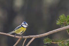 Blue Tit in a Tree Royalty Free Stock Photos
