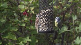 Blue tit and tree sparrow on a birdfeeder stock footage