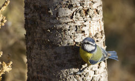 Blue Tit on a Tree Trunk Stock Photography