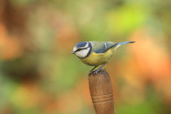 Blue Tit on trowel handle Royalty Free Stock Photo