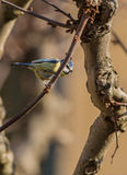 Blue Tit on a twig Royalty Free Stock Image