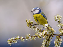 Blue tit on twig with blossom Stock Photos