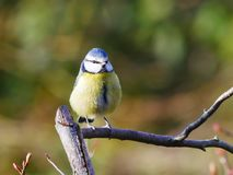 Blue tit on a twig royalty free stock images