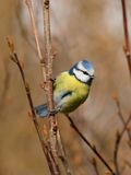 Blue tit on a twig Royalty Free Stock Photography