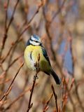 Blue tit on a twig Royalty Free Stock Photos