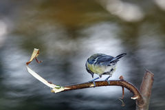 Blue tit under water rapids Royalty Free Stock Photography