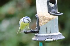 A Blue Tit visits the feeding station stock photography