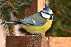 Blue tit waiting when feeder will be empty. Songbird blue tit during winter birdwatching Stock Images