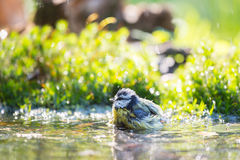 Blue tit in water Royalty Free Stock Photo