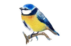 Blue Tit. Royalty Free Stock Image