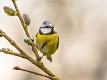 Blue tit on willow twig Royalty Free Stock Photography