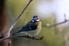 Blue Tit in Winter. Found this lite boy one morning in winter Stock Photo