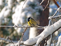Blue tit. Winter season Royalty Free Stock Photo