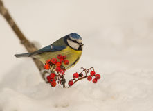 Blue Tit in winter time. A Blue Tit (Parus caeruleus) perches in the snow near to a twig of the Rowan tree with some red berries royalty free stock images