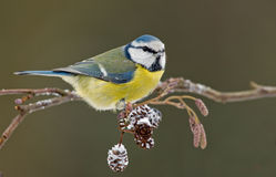 Blue tit on a winter twig. Blue tit on snow covered twig Royalty Free Stock Photos
