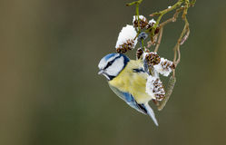 Blue tit on a winter twig Stock Image