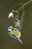Blue tit on a winter twig Stock Photo