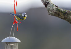 Blue tit on wire Stock Images