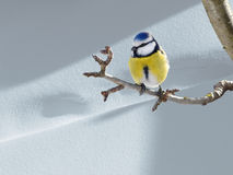 Blue titmouse. Blue tit perched on a twig Royalty Free Stock Images