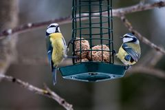 Blue tits. Eating from feeder Royalty Free Stock Photography