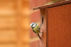 Blue Tits. Adult Blue Tit in its box Stock Photos