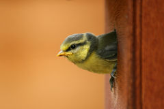 Blue Tits. Baby Blue Tit in its box Stock Image