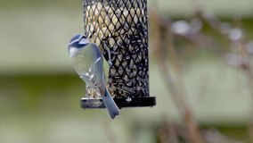 Blue tits on a bird feeder stock video footage