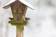 Blue tits at a birdhouse Stock Images