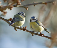Blue Tits Royalty Free Stock Photography